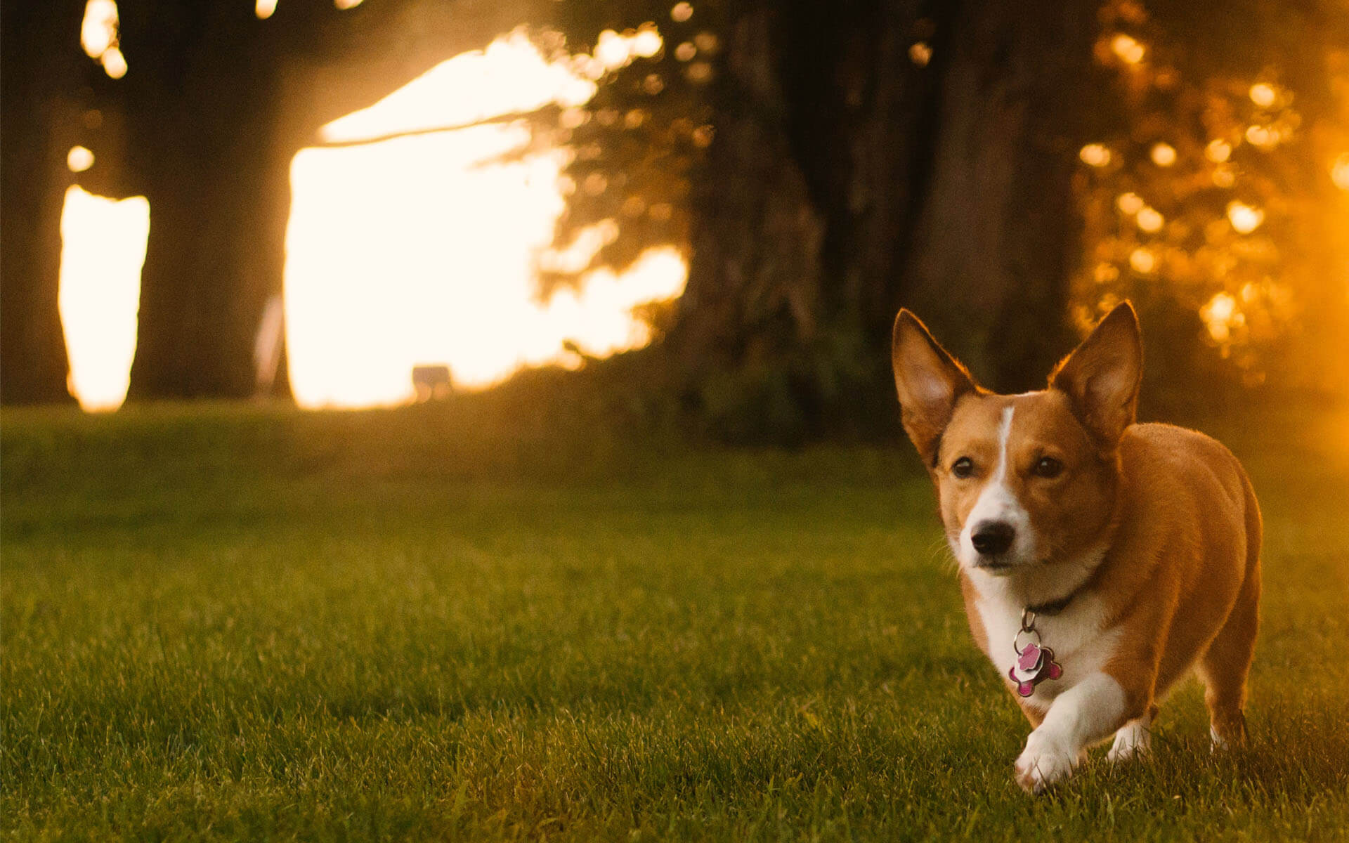 Corgi running in sunset