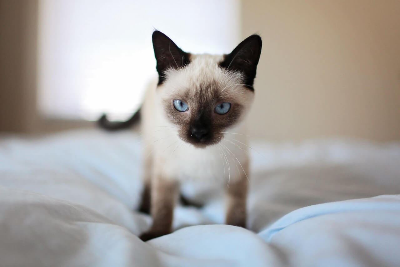 Siamese Cat Walking on Bed