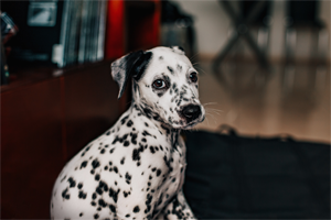 Scratch&Patch-Dalmatian