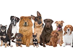 Scratch&Patch- pedigree dog